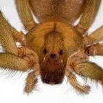 Mordedura de la araña reclusa parda