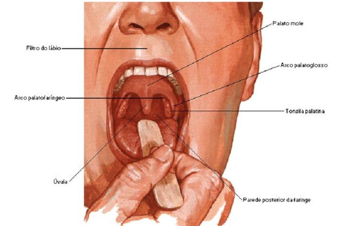 Anatomía de la garganta – Autoridad Consejo