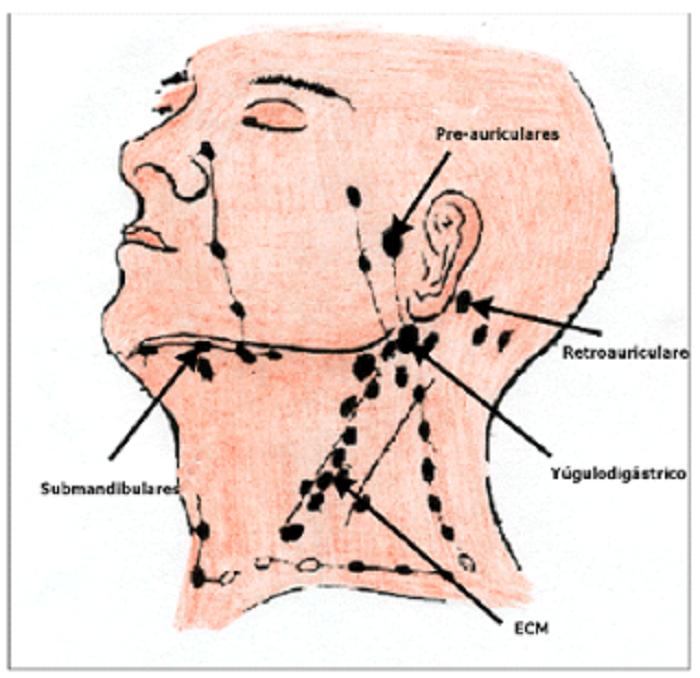 Los ganglios linfáticos cervicales – Autoridad Consejo