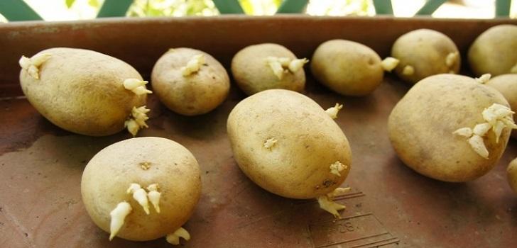 Comiendo patata germinada