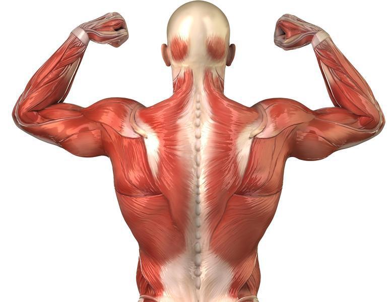 Cuántos órganos hay en el cuerpo humano