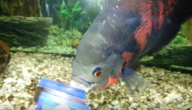 Dejar que los peces coman piel muerta realmente útil