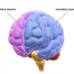 Lóbulos humanos del cerebro posición y funciones