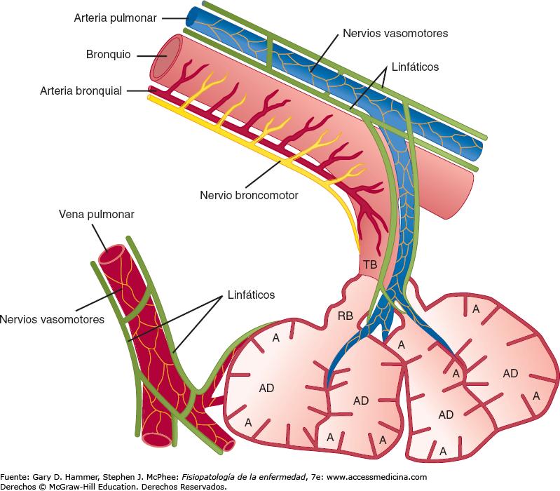 Encantador Anatomía Del Pulmón Viñeta - Imágenes de Anatomía Humana ...