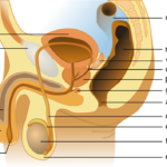 Hormonas involucradas en el sistema reproductivo masculino