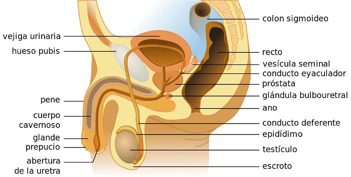 hormonas-involucradas-varon-sistema-reproductivo