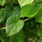 5-hierbas-ayurvedicas-para-aumentar-tu-inmunidad