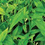 beneficios-de-nilavembu-utiliza-ingredientes