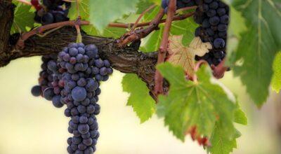 extracto-de-semilla-de-uva-increibles-beneficios-para-la-salud-que-debe-conocer