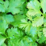19-beneficios-para-la-salud-aceite-de-semillas-de-hojas-de-cilantro