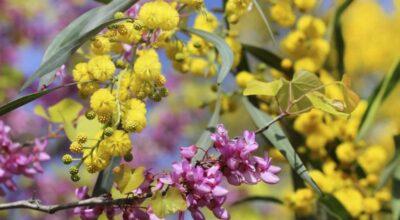acacia-rigidula-beneficios-propiedades-medicinales-efectos-secundarios